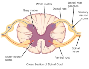 transverse-spinal-section.jpg