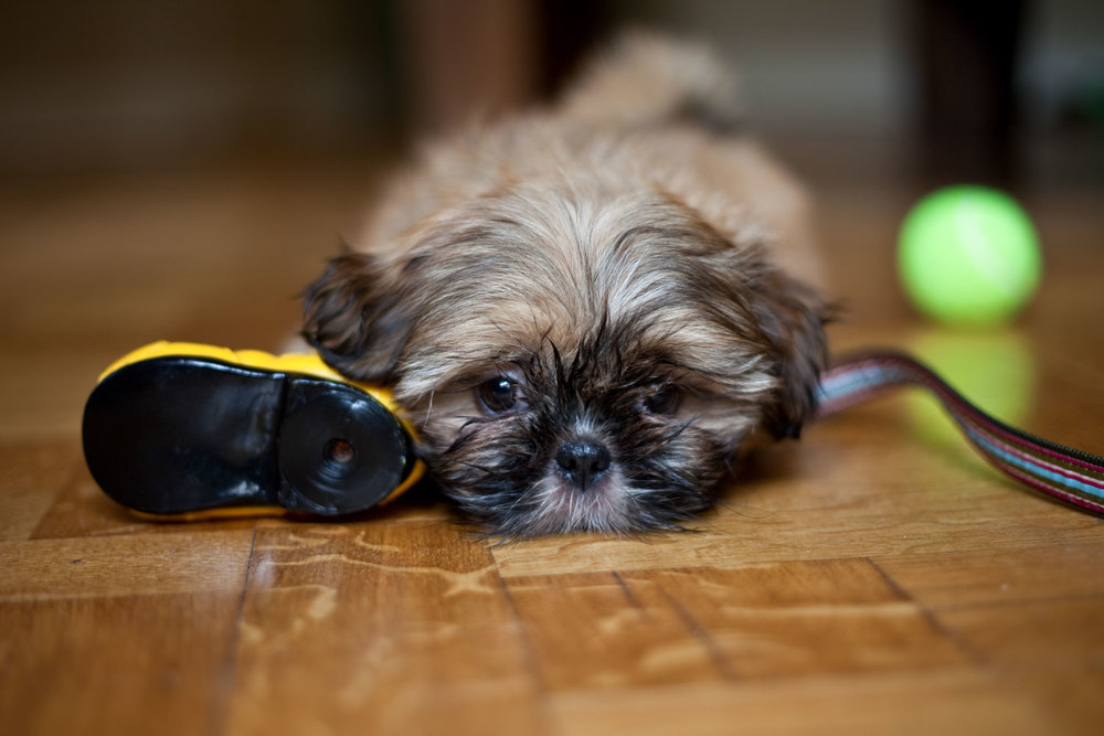 Lhasa Apso puppy with toys.jpg
