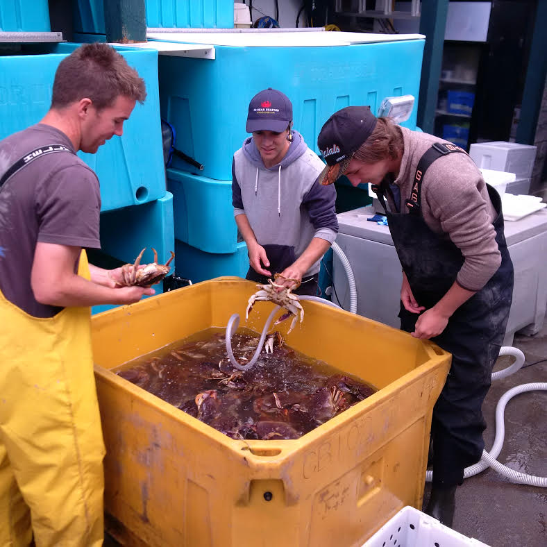 Crab being graded. Note the cold water we pumped into the tank to keep the crabs calm.