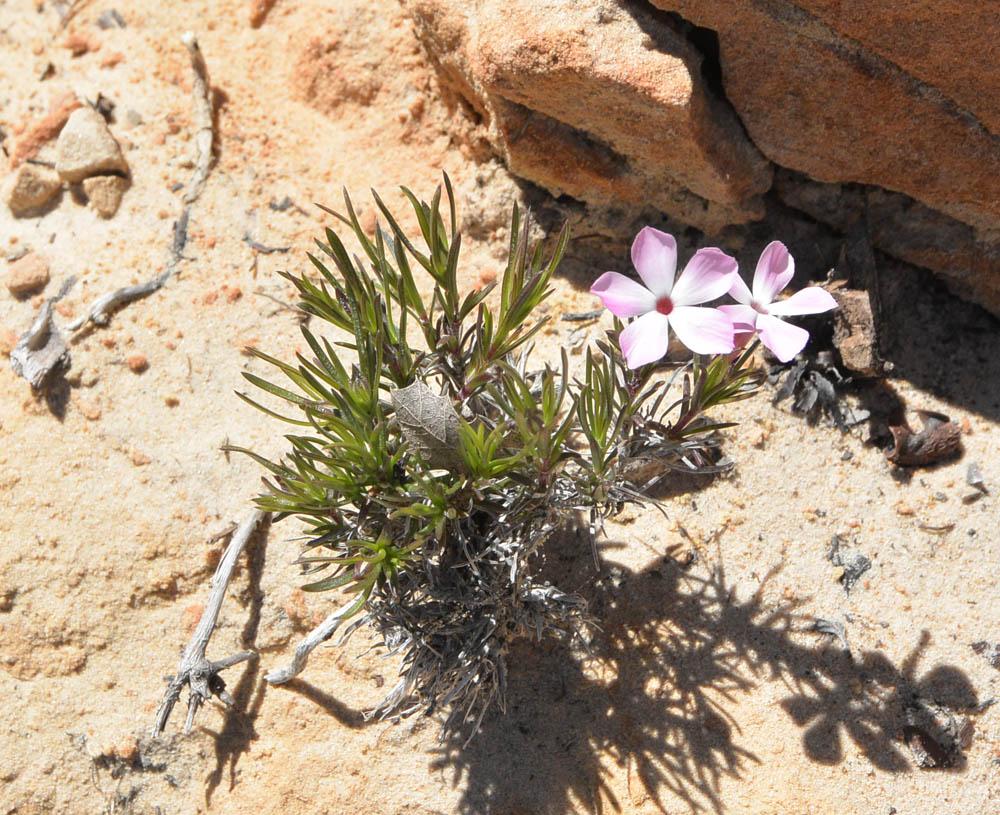 Desert Phlox, Phlox austromontana