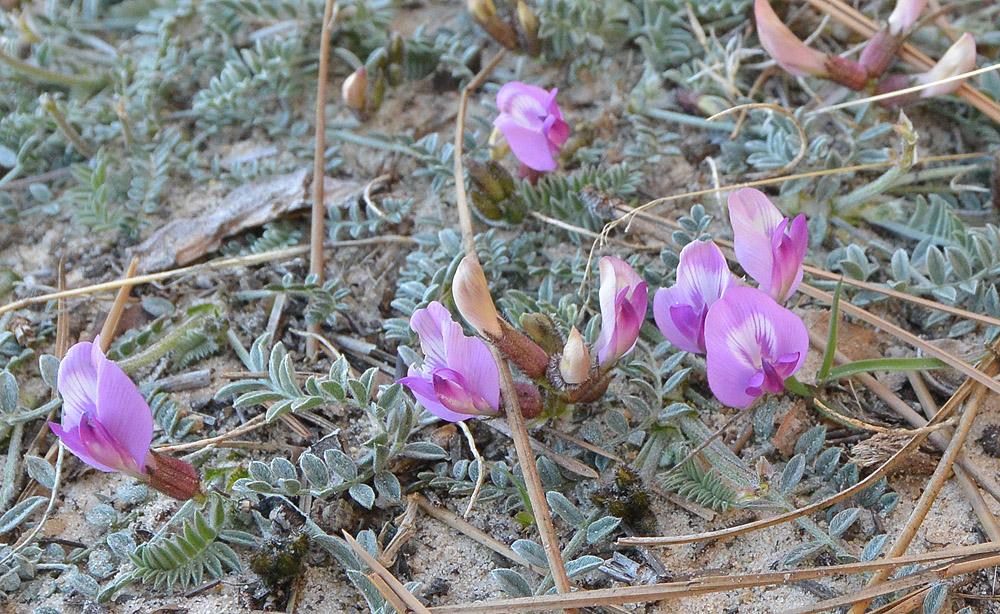 Astragalus zionis – Zion Milkvetch
