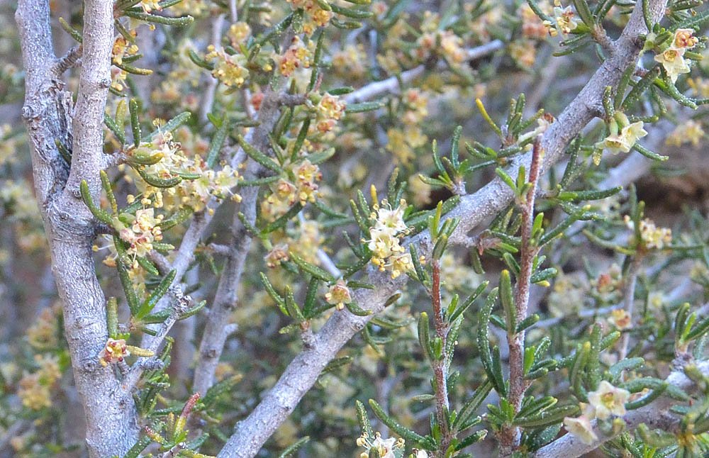 Littleleaf Mountain Mahogany – Cercocarpus intricatus