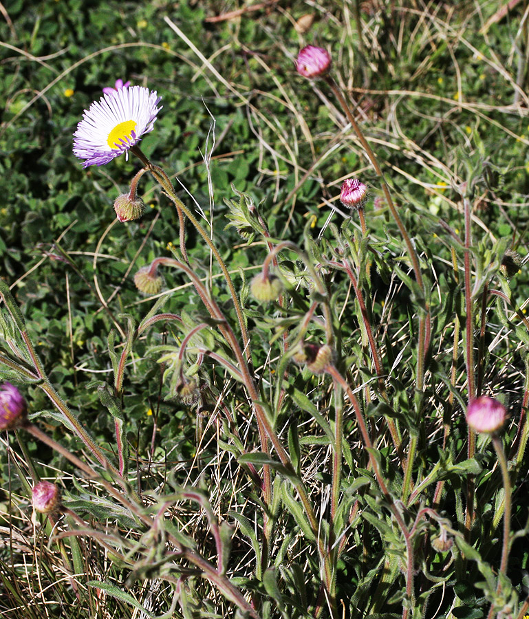 Erigeron divergens – Spreading Fleabane – showing the overall plant and leaves, however poorly