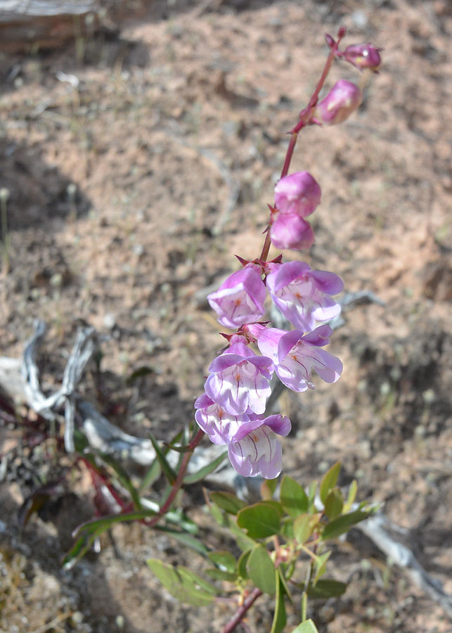 Royal or Smooth Penstemon – Penstemon laevis