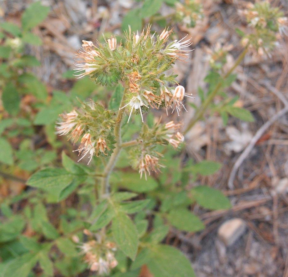 One of my favorites, very common in Zion but so un-showy… Varileaf Phacelia – Phacelia heterophylla