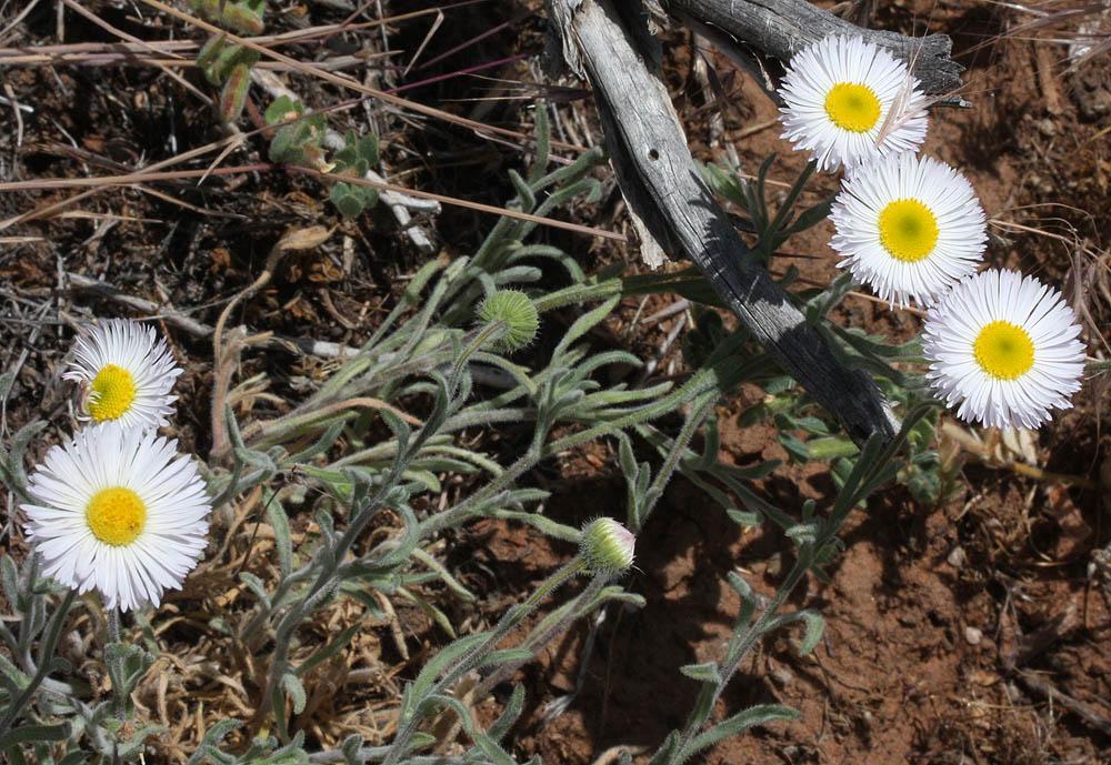 Eaton Daisy, Erigeron eatonii. Very common in Zion