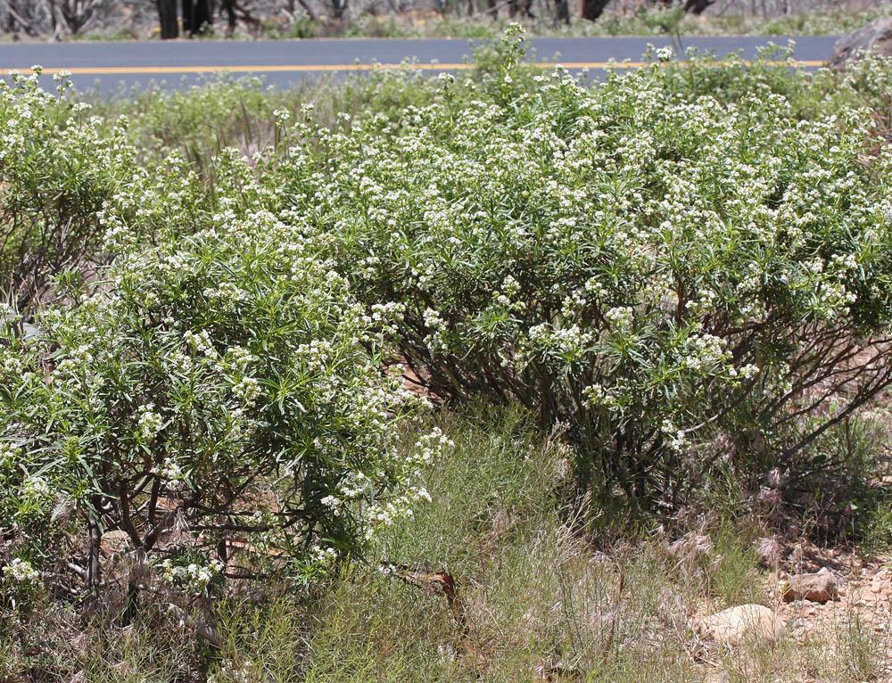 Narrowleaf Yerba Santa, the bush, at the Right Fork Trailhead