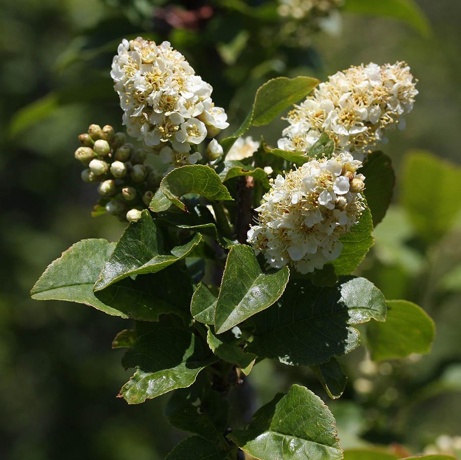 Western Chokecherry, Prunus virginiana melanocarpa – a cluster of blooms…