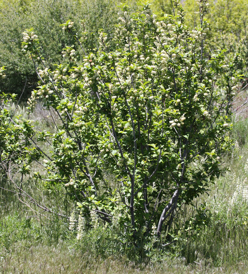 Western Chokecherry, Prunus virginiana melanocarpa – the plant. Seems like this is taking over at the Wildcat Cyn TH, where it used to be lupines.