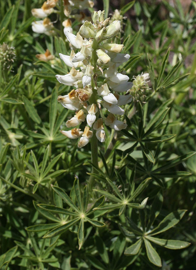 Silky Lupine – Lupinus sericeus… dominant flower off the KT road
