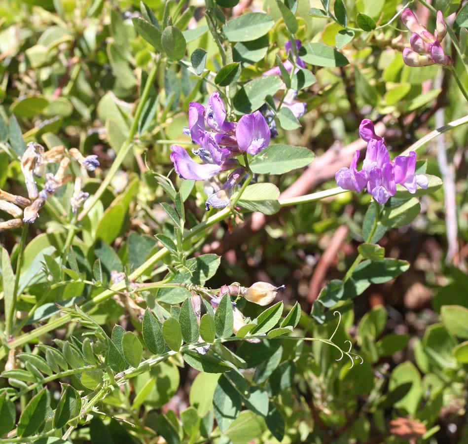 Zion Sweetpea, Lathyrus zionis. Growing amidst sagebrush and manzanita at the Wildcat TH