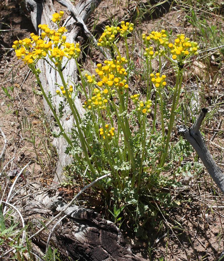 Uintah groundsel, Senecio multilobatus – another ubiquitous flower in Zion