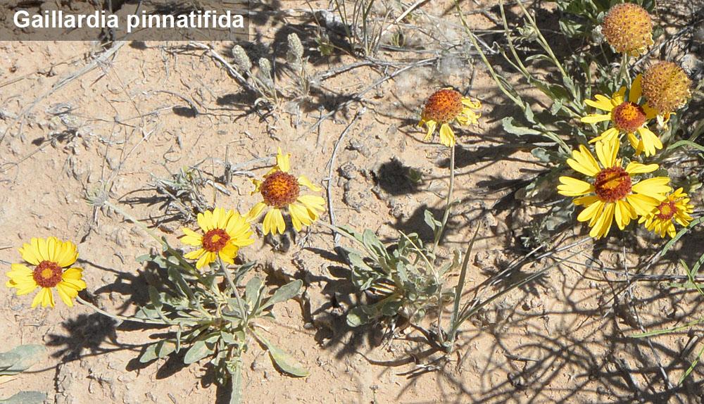 Gaillardia pinnatifida (Cut-leaf Blanketflower) Asteraceae (Sunflower Family)