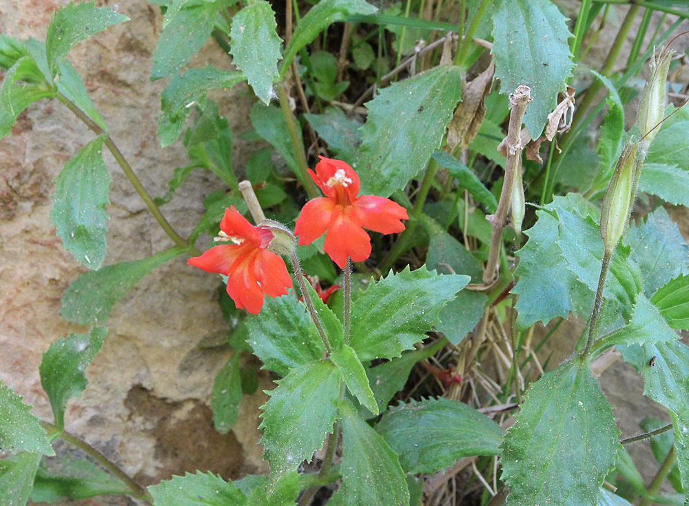 Scarlet Monkeyflower – Mimulus cardinalis