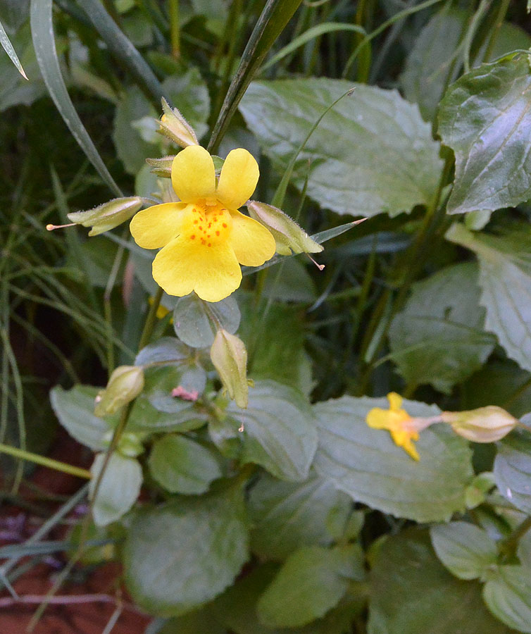 Yellow Monkey Flower – Mimulus guttatus