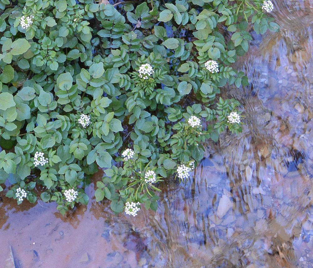 Watercress – Nasturtium officinale