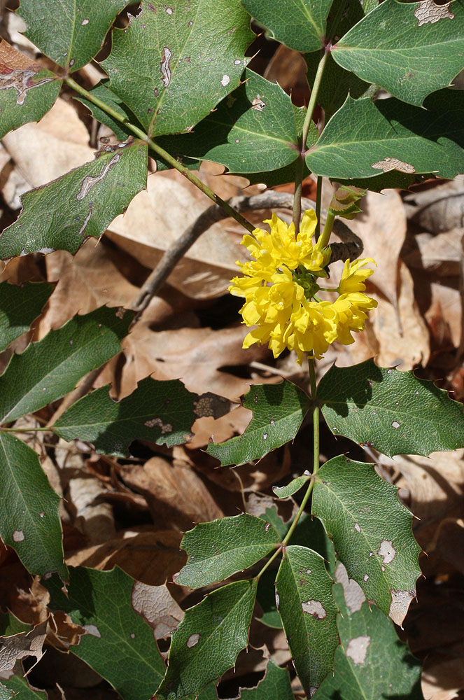 Mahonia-repens-Leaves-Flower-A-1000.jpg