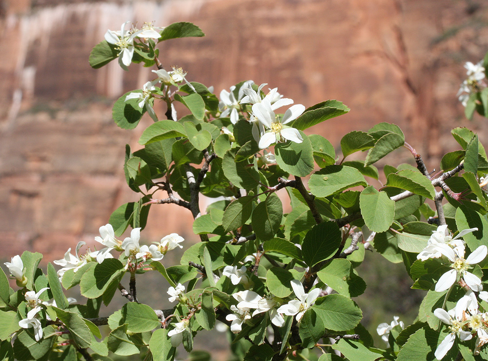 Utah-Serviceberry-A-1000.jpg
