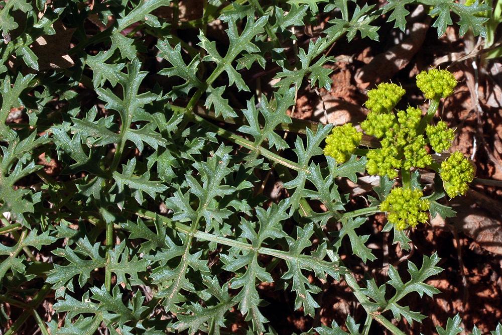 Wild-Parsley-Flower-Leaves-A-1000.jpg
