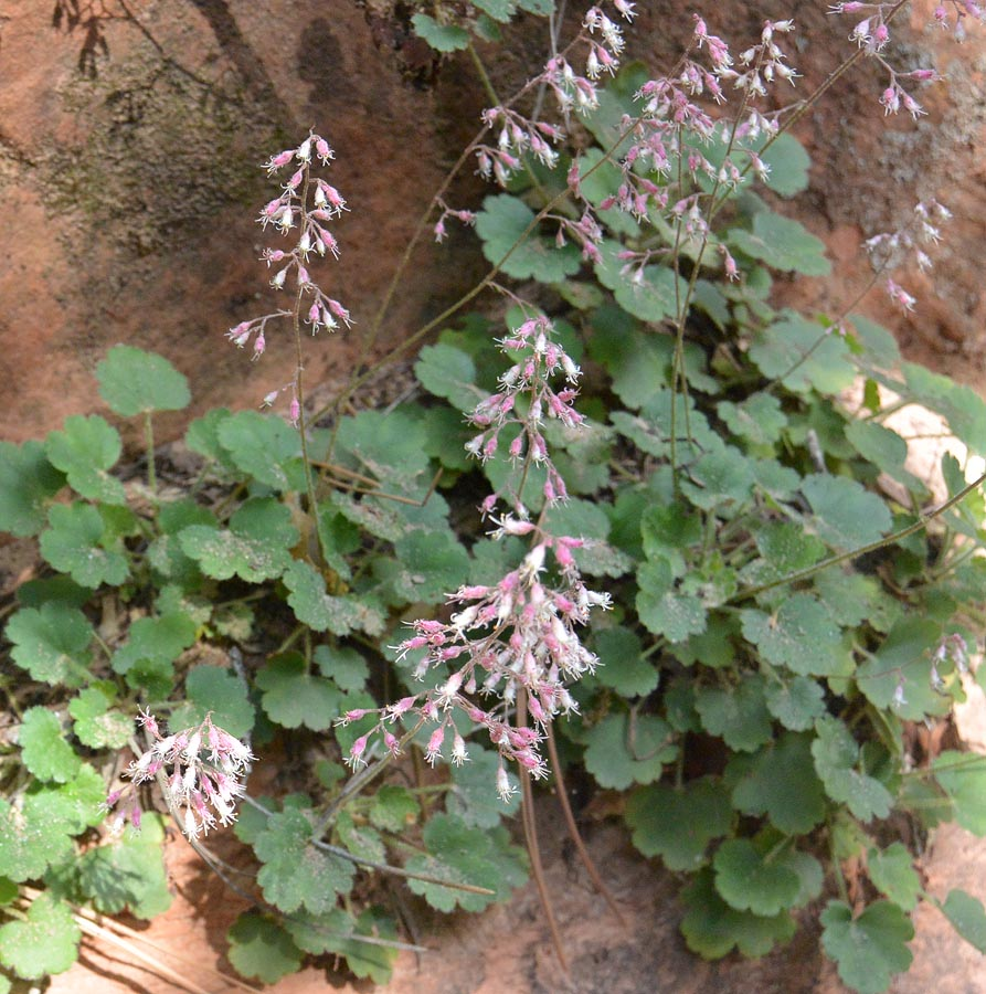 A new one for me (thanks Derrick) - Pink Alumroot (aka Coral Bells) - Huechera rubescens