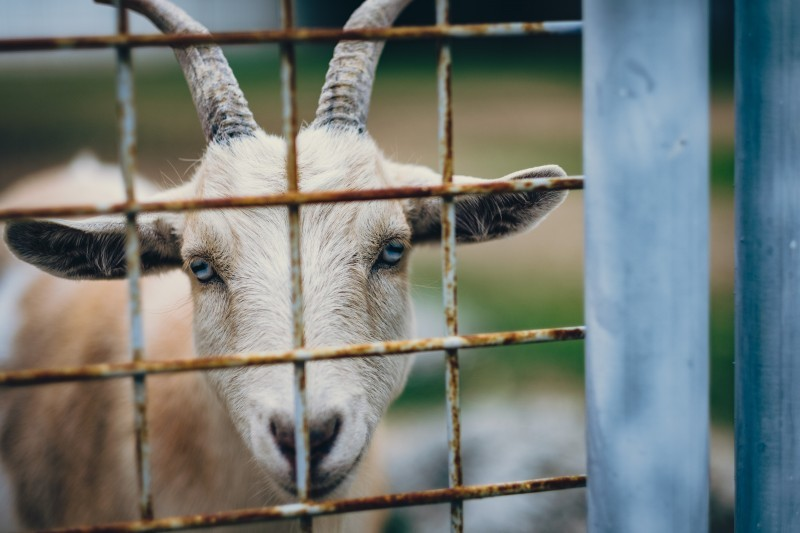 fence-rustic-goat.jpg
