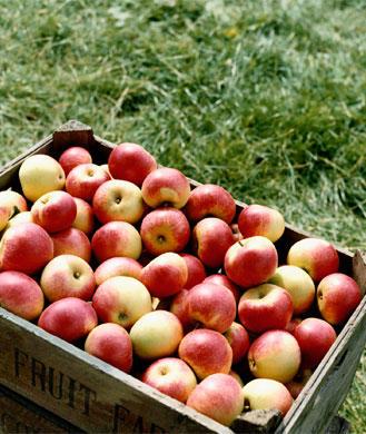 apples-329_1.jpg