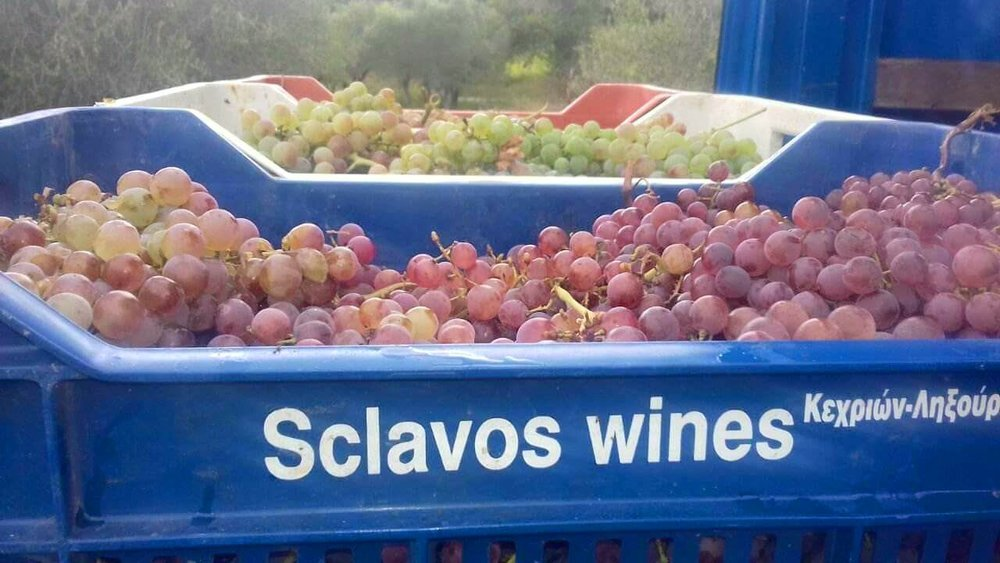 Sclavos grapes at Harvest.  P  hoto Credit