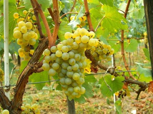 Chardonnay-2.jpg