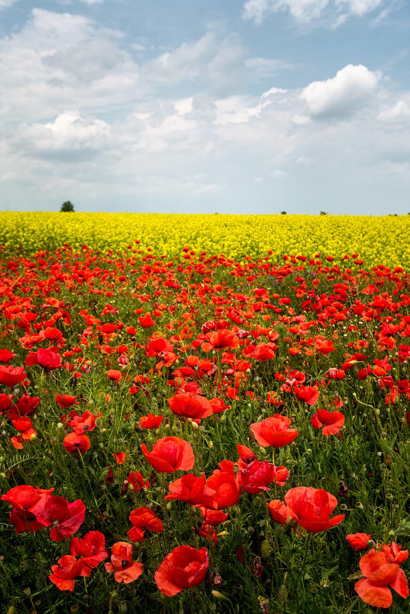 câmp de flori pe marginea drumului aproape de Urziceni