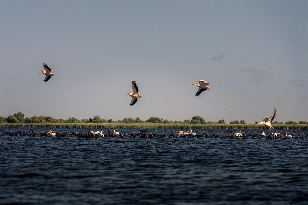 în ultima zi vedem mai de aproape pelicanii