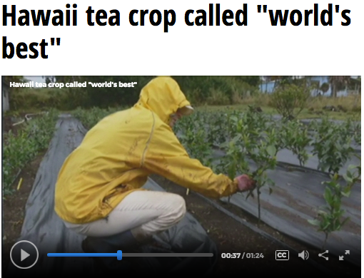 "Hawaii's Tea Crop Called ""World's Best"""