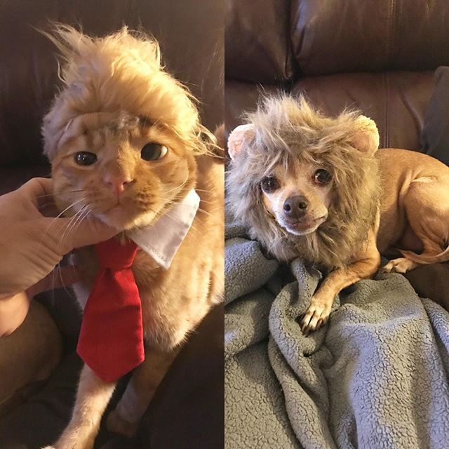 A Happy Halloween to all of our clients from Dr. Burghardt's fur babies! 🎃 #Trump #Lioness #Rawr #halloweencostume