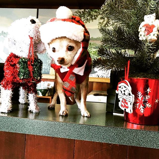 Looking forward to seeing everyone later today at the Encinitas holiday parade! ⁣ 📷: Joey ❤️ @angelalovepets ⁣ ⁣ #happyholidays #encinitas #parade #companionpetcare #officemascot