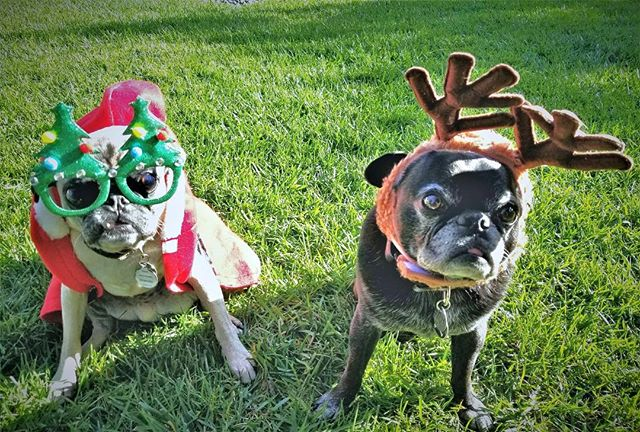 Congratulations to our holiday pet photo contest winners, Chuck and Tito! Thank you to everyone who participated! ⁣🌲🎉⁣ 📷: @pugsnfun⁣⁣ ⁣⁣ #holidaypetphotos #companionpetcare #pugs #puglife #happyholidays #encinitasvet
