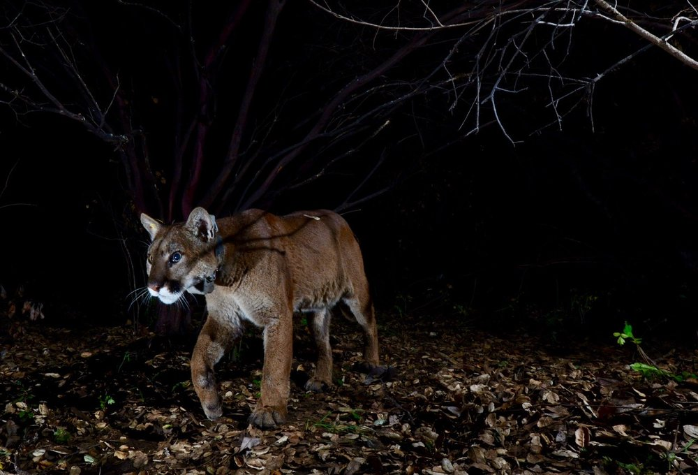 Mountain Lion with GPS collar