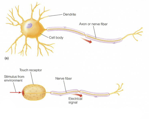 Figure 1. An illustration of a neuron.  Source: Kandel, Eric R. The Age of Insight: The Quest to Understand the Unconscious in Art, Mind, and Brain: From Vienna 1900 to the Present. New York: Random House, 2012.