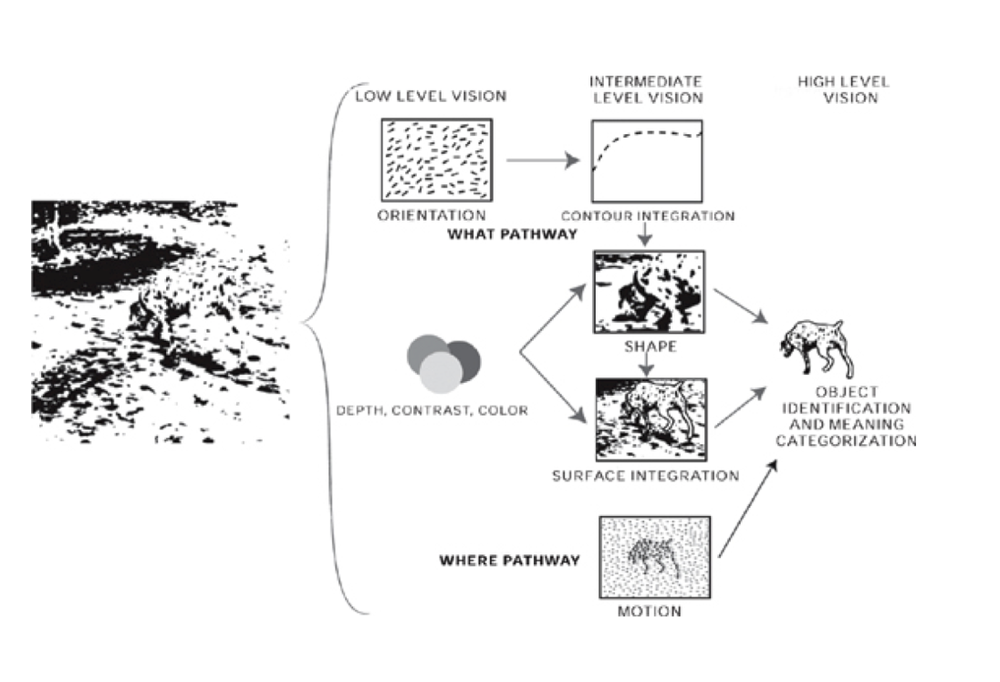 Figure 2. The image of the dog at the left is deconstructed and processed at three different levels of vision and along two pathways.  Source: Kandel, Eric R. The Age of Insight: The Quest to Understand the Unconscious in Art, Mind, and Brain: From Vienna 1900 to the Present. New York: Random House, 2012. Print.