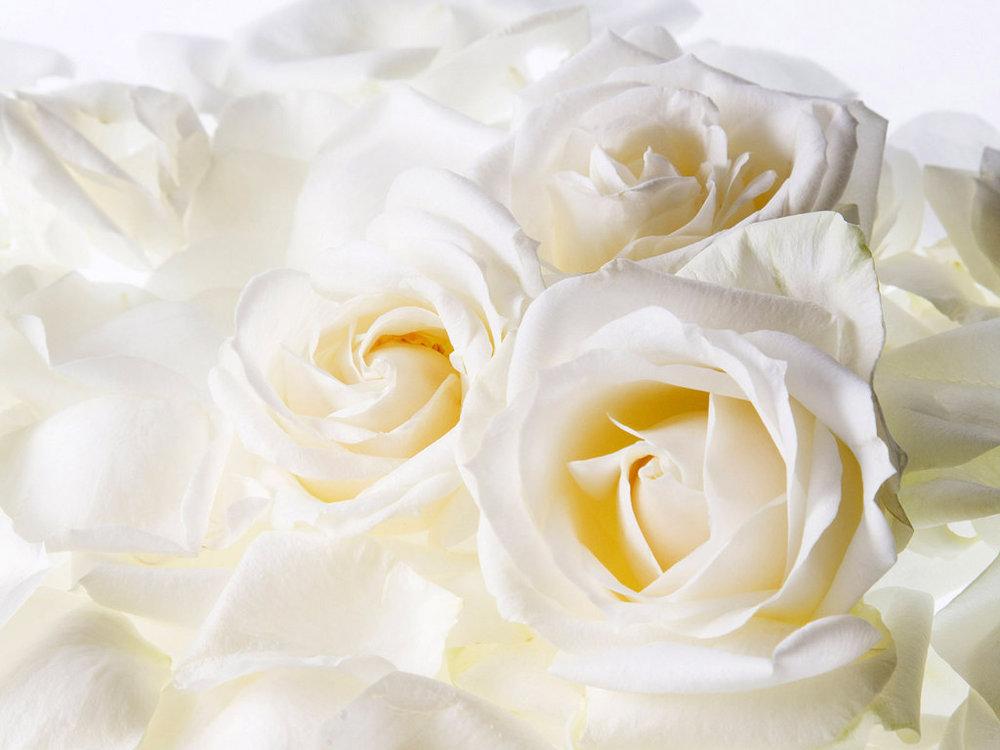 White-Rose-Images-Wallpaper.jpg