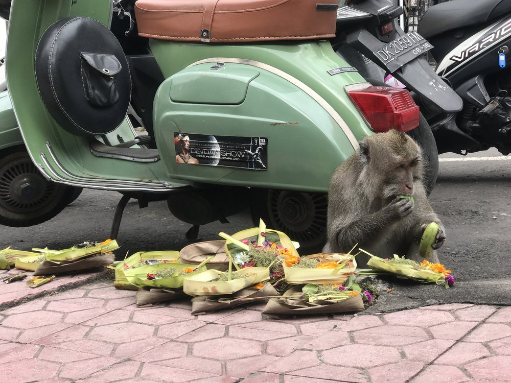 Snacking on offerings on Jl. Monkey Forest Road outside the sanctuary.
