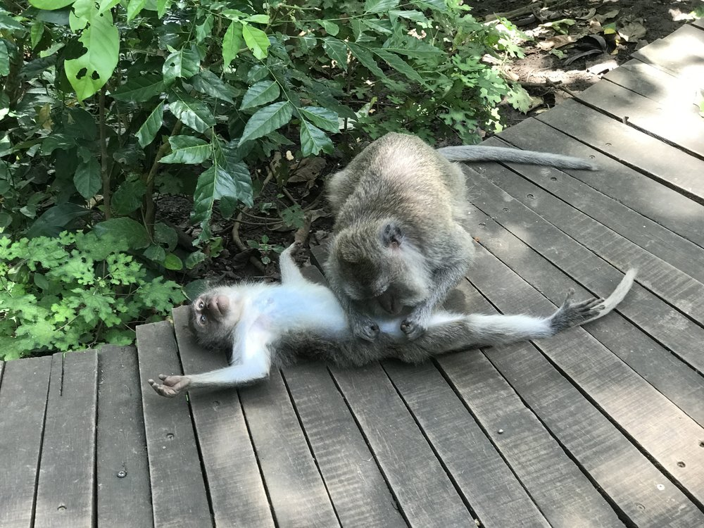 Monkeys are often seen helping one another keep clean.