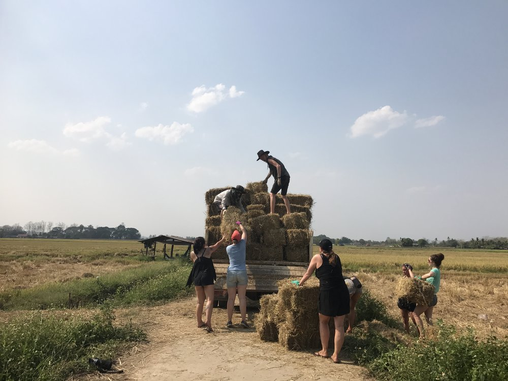 Collecting Hay for Elephant Nature Park, Chiang Mai, Thailand