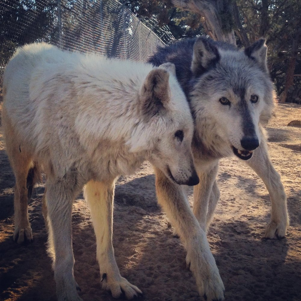 Maki and Nikki Wild Spirit Wolf Sanctuary