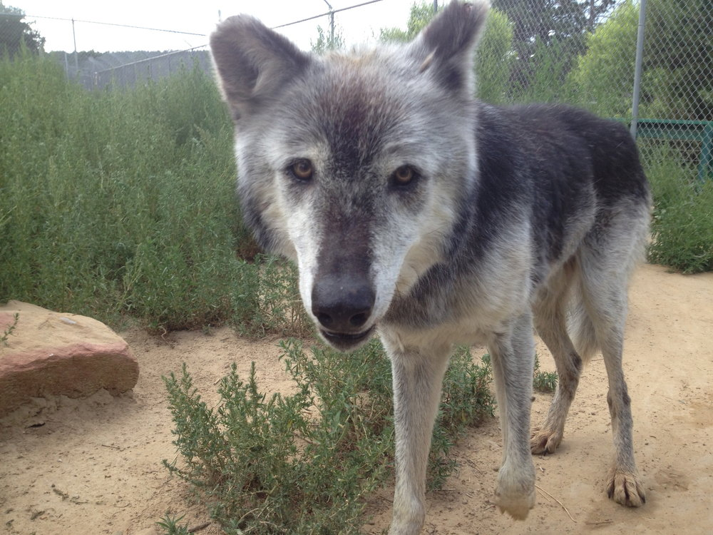 Navar Wild Spirit Wolf Sanctuary