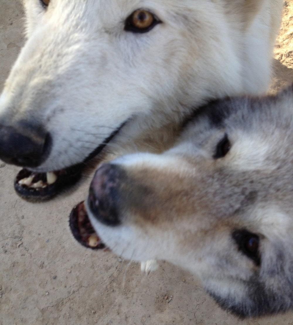 Brutus and Skye Wild Spirit Wolf Sanctuary