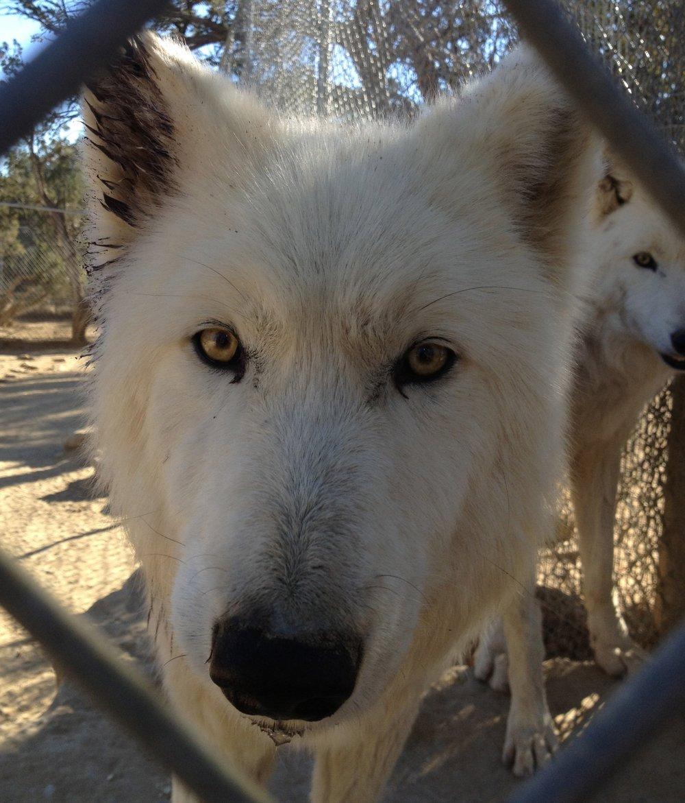 Nymeria Wild Spirit Wolf Sanctuary