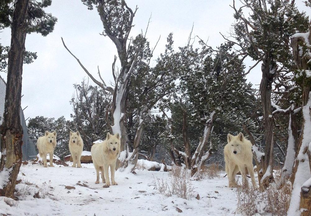 Shaggy Pack Wild Spirit Wolf Sanctuary