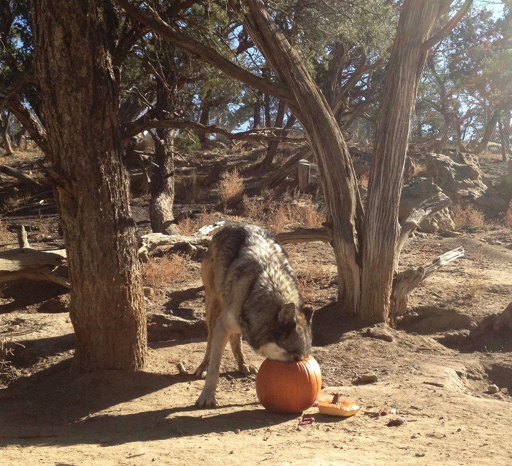 Argo Pumpkin Wild Spirit Wolf Sanctuary