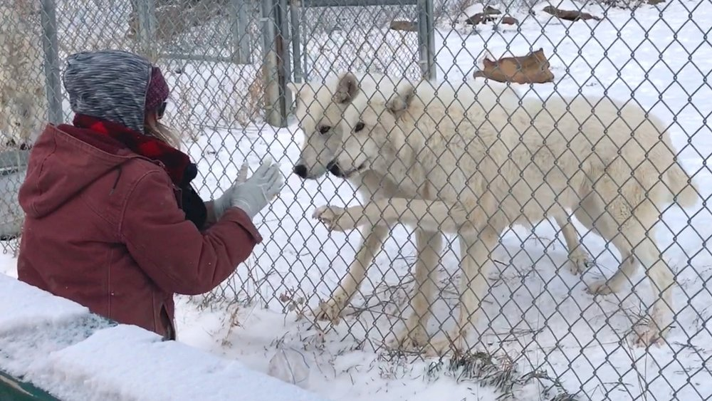 Nikki hand feeding Arctic wolf siblings Thunder and Alice.