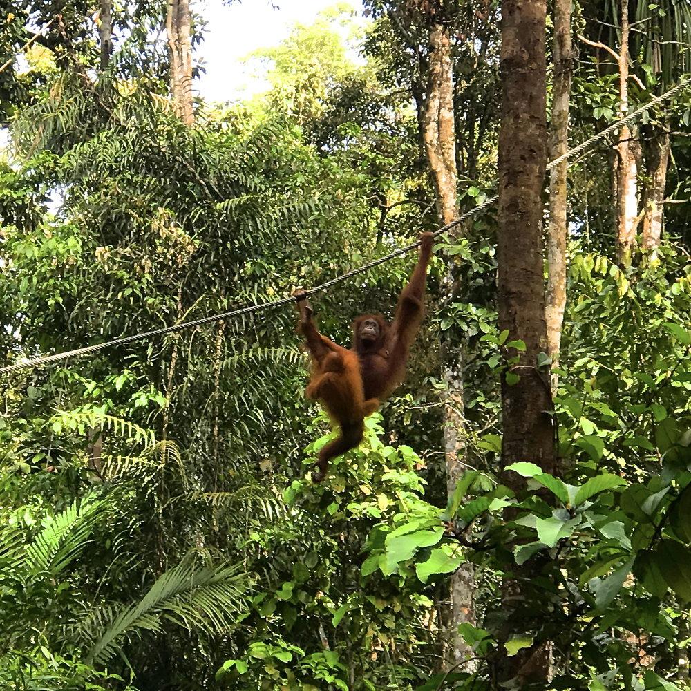 Semenggoh Wildlife Centre, Borneo