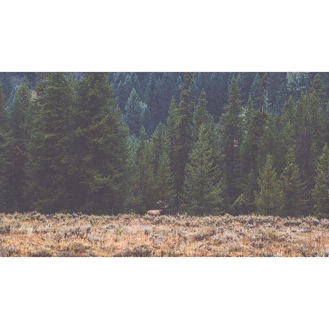 That first glimpse. #rmef #elk